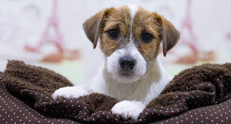 сколько живут собаки джек рассел терьер