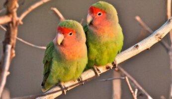 Сколько живут попугаи 83