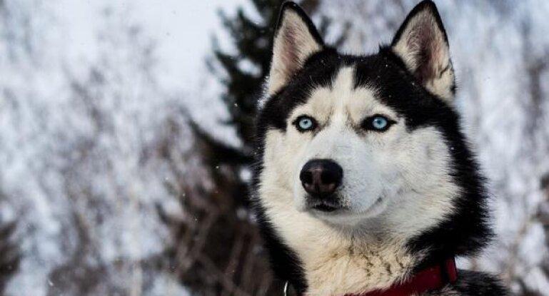 характеристика собаки хаски