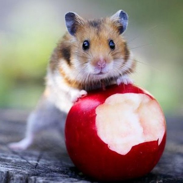 Хомяк кушает яблоко