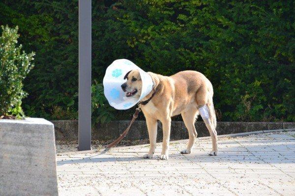 Раненая собака в воротнике