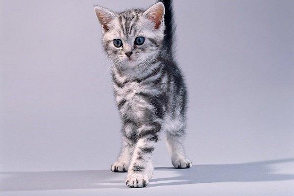 Котенок окраса вискас из рекламы Вискас
