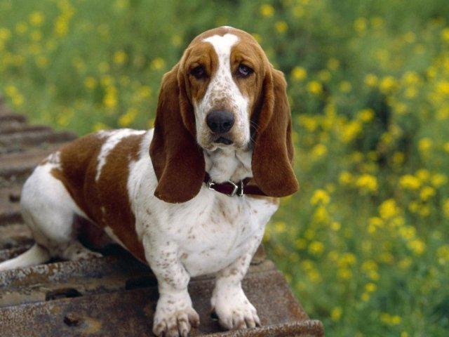 порода собак с короткими лапами