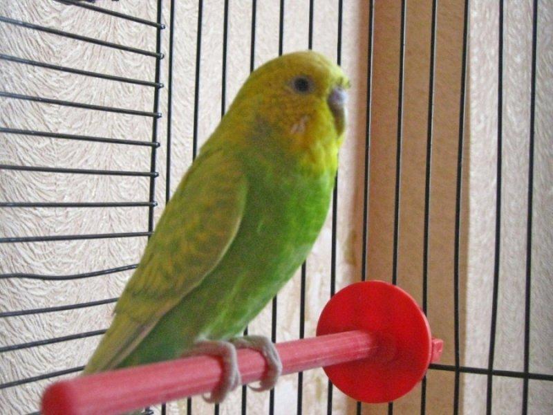 Зеленый попугайчик в клетке