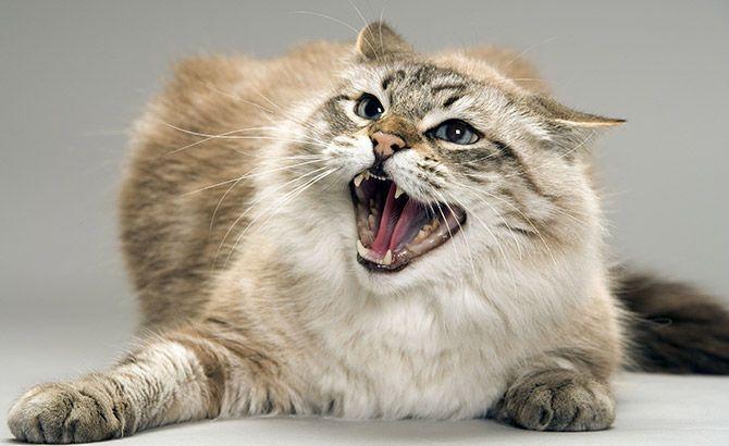 Как правильно сделать укол кошке внутримышечно и подкожно самому?