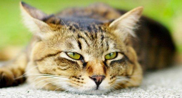 Безразличный кот крупным планом