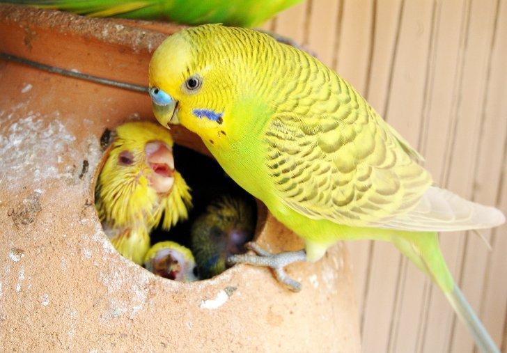 Самка попугая и птенчики