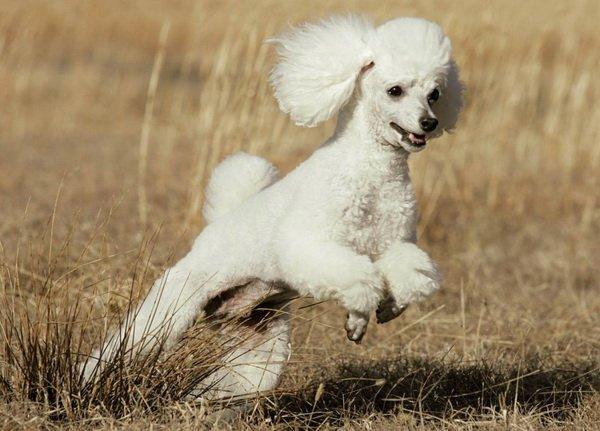 Белый пудель на охоте в сухой траве
