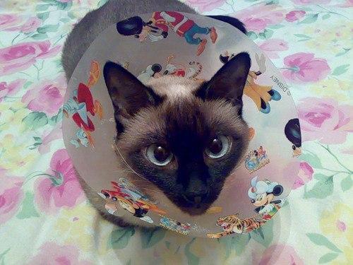 Кот в воротнике из картона